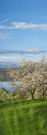 germany bavaria cherry trees with lake