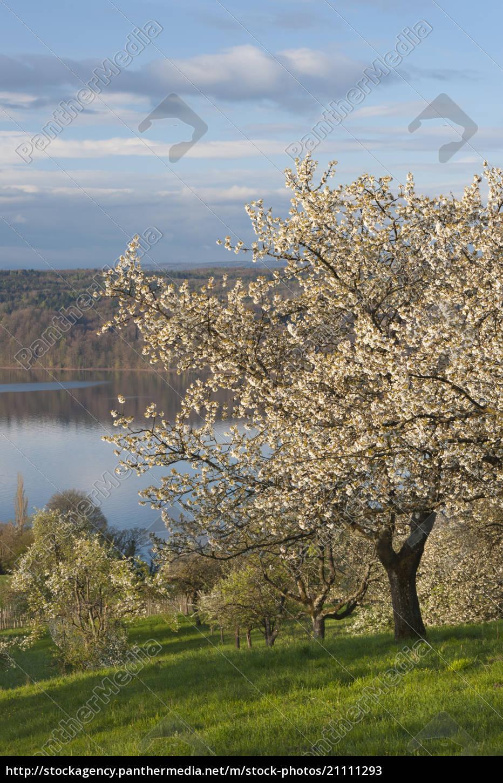 deutschland, bayern, kirschbäume, mit, bodensee, über, wiese - 21111293