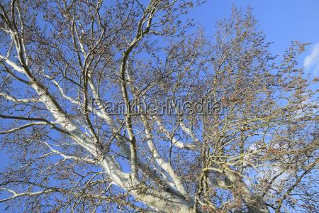 bluehende silberne pappel silberner pappelbaum im