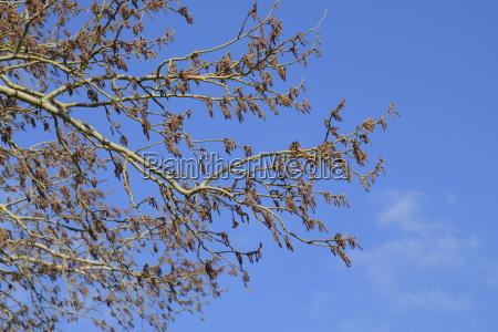 bluehende silberpappel silber pappelbaum im fruehjahr