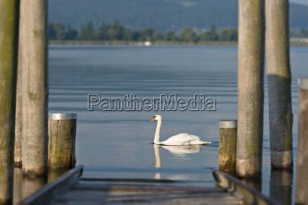 germany baden wurttenberg allensbach swan near