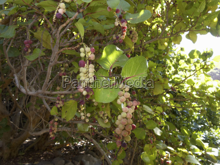 spain la gomera coccoloba uvifera tree