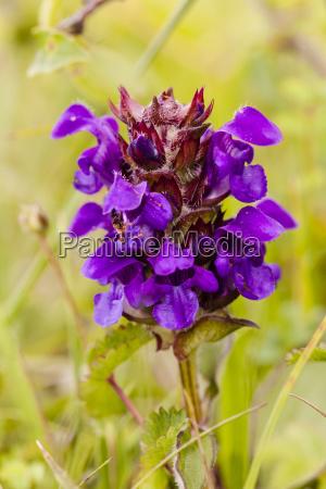 germany hesse small dunnock flower