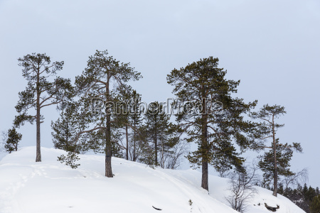 finland inari trees in winter landscape