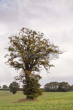 germany oak tree in field near