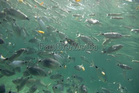 spain mallorca mediterranean white seabreams with