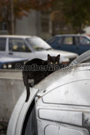 bulgaria black cat on car