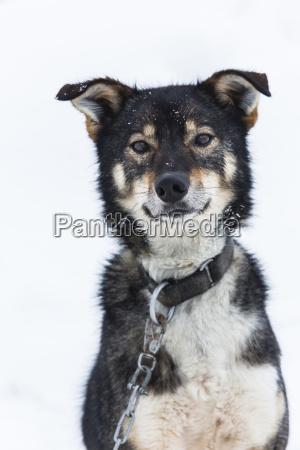 finland rovaniemi portrait of husky in