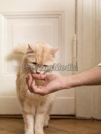 maine coon riecht mann die hand
