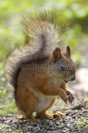 finland red squirrel sciurus vulgaris