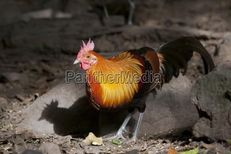 animale uccello virile mascolino allaperto thailandia