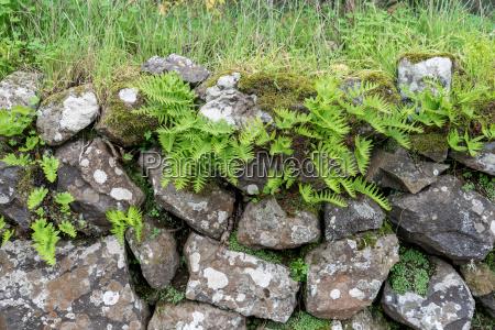 ferns at a stone wall