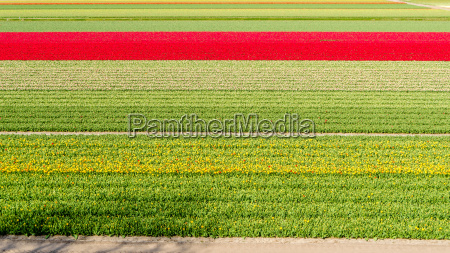 feld holland fruehjahr blume pflanze tulpe
