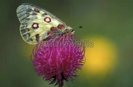 butterfly parnassus apollo on flower close