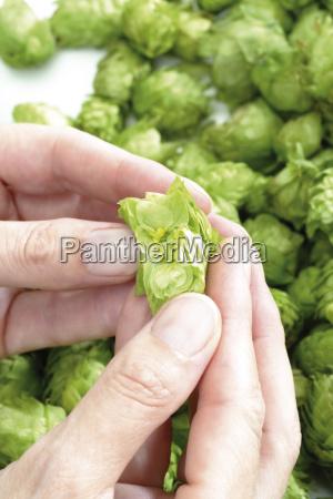 hands proving hop umbel umbels in