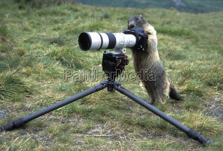geislingen murmeltier marmota caligata mit kamera