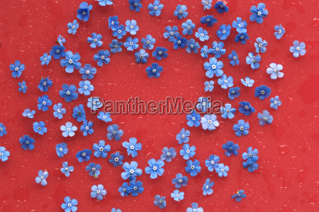 forget me not flower on wet