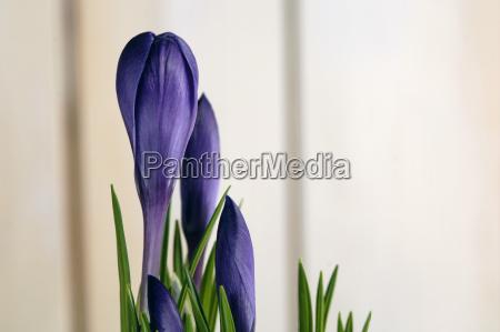 purple crocus close up