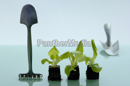 salad seedlings with gardening tools