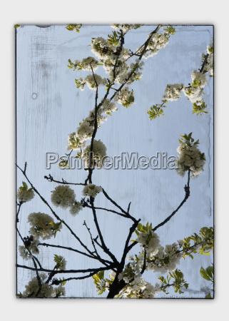collage cherry blossom seen through window