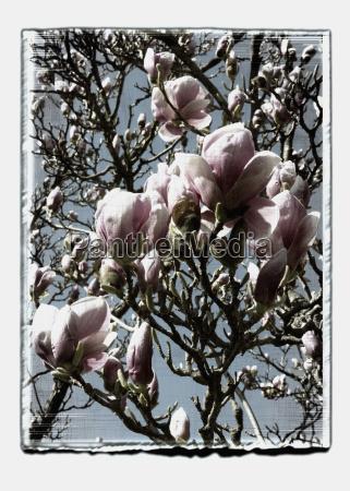 germany stuttgart magnolia flowers on tree