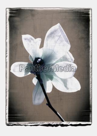 germany stuttgart single white magnolia flower