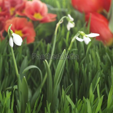 snowdrops galanthus nivalis close up