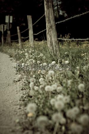 dandelion at roadside close up