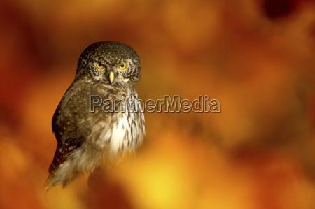 eurasian pygmy owl close up