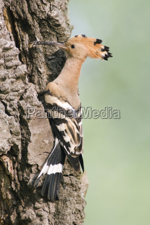 hoopoe on tree trunk close up