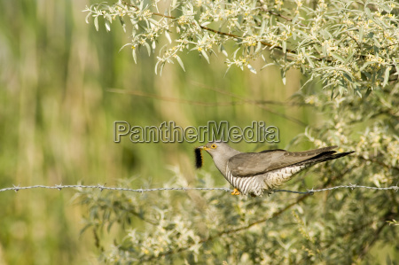 cuckoo sitting on barbed wire eating