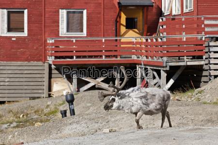 europe norway spitsbergen svalbard longyearbyen reindeer