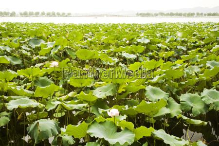 china hangzhou west lake water lilies