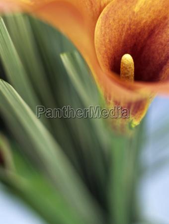 calla blossom close up