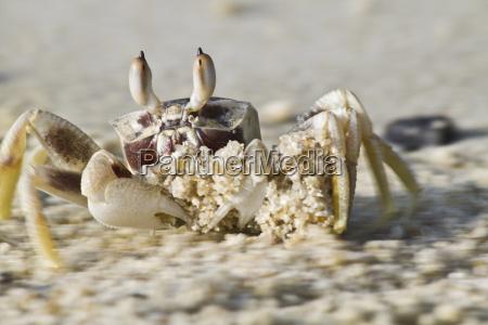 thailand koh surin crab on beach