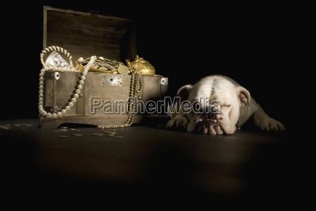 bulldog schlaeft naechste schatztruhe