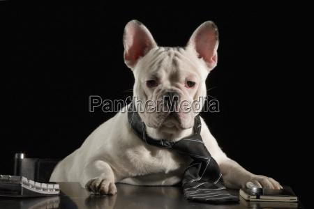 franzoesische bulldogge im buero portraet