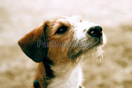 terrier dog close up