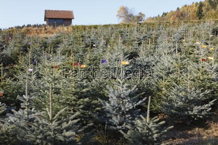 austria plantation of christmas trees