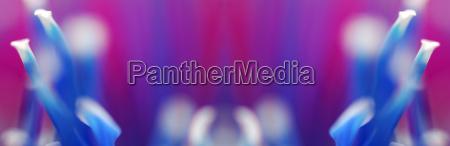 blume pflanze gewaechs symmetrie gespiegelt chrysantheme