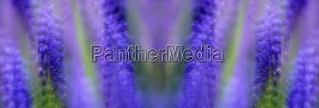 grape hyacinth close up