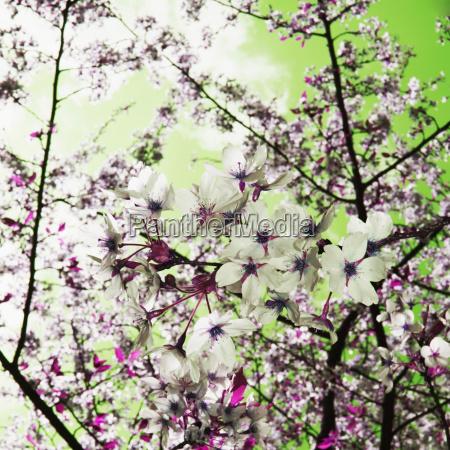 baum europa fruehjahr apfelbaum ast zweig