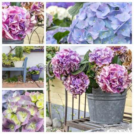 collage with violet hydrangeas