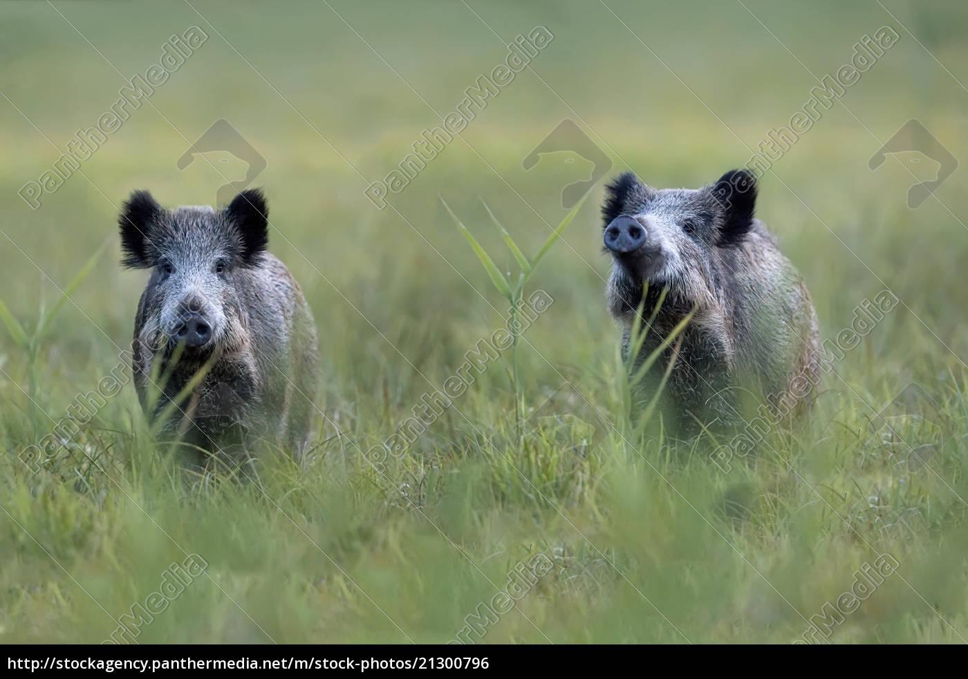 wildschweine, auf, einer, lichtung, - 21300796