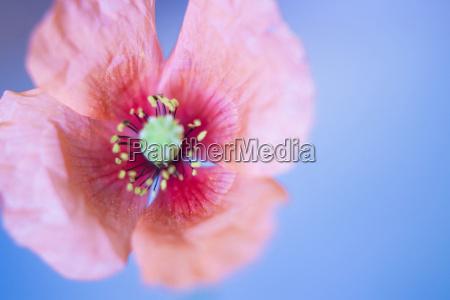 mohnblume in blauem hintergrund weicher