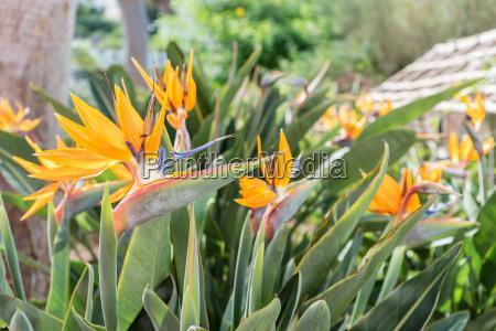 strelice flowers in the garden