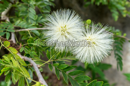 mimosa with white flowers