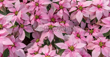 pink blossoming poinsettias