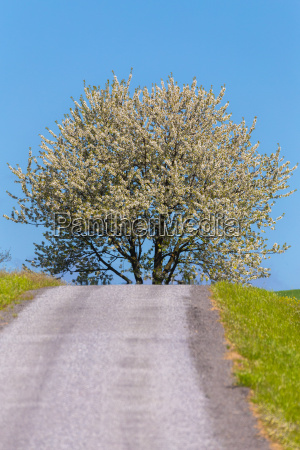 road and spring blooming tree in