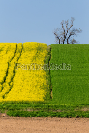 yellow and green spring field in